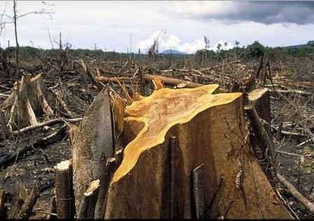 Rừng cạn kiệt do khai thác gỗ tự nhiên quá đà